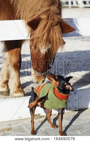 little black brown dog in green and orange sweater playing with the pony that stands in the paddock