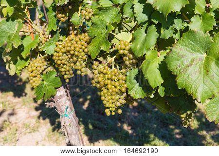 Wine grapes on the plant Palava variety Mikulov vineyards Southern Moravia Czech Republic