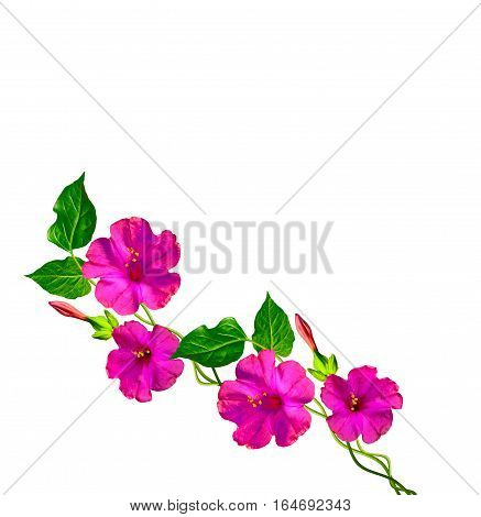 Petunias isolated on a white background. Colorful flowers.
