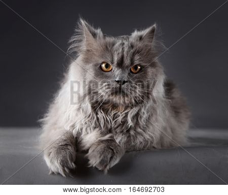 Persian Cat portrait in studio with grey background