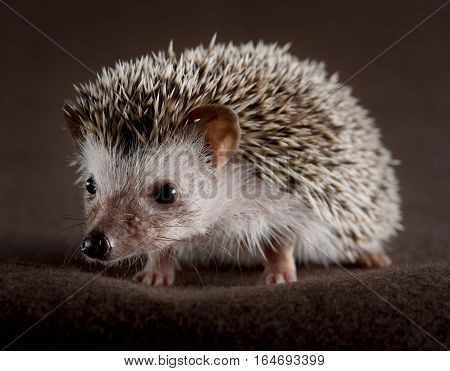 hedgehog portrait in studio with brown background
