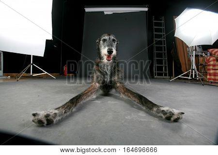 the model dog take a break in studio
