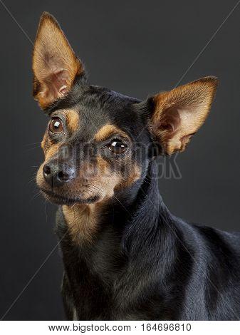 Hunter rat dog portrait in studio with grey background