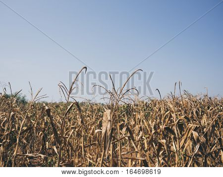 Yellow Dried Corn Field.