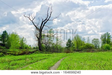 Rural path through a spring green meadow near dry bare tree against the background of wood and clouds.