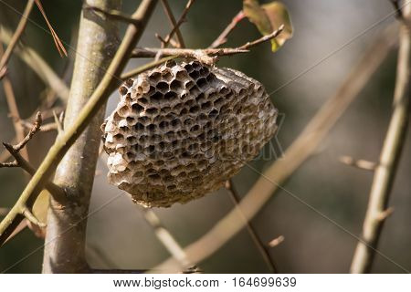 Paper Wasp nest waiting for the Winter to pass and its owner's relatives to return
