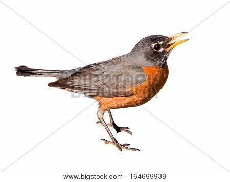 American robin (Turdus migratorius) isolated on white background. The bird lives throughout North America. It is the state bird of Connecticut Michigan and Wisconsin.