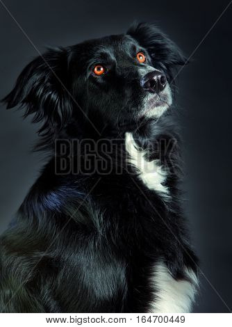 Mixed border collie 3/4 head looking up in studio