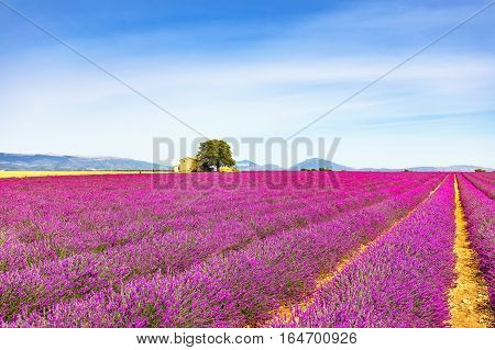 Lavender flowers blooming field wheat house and lonely tree. Panoramic view. Plateau de Valensole Provence France Europe.