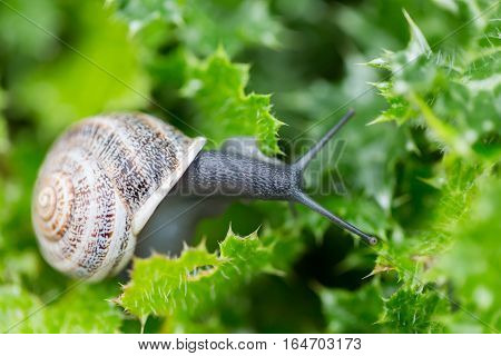 Garden Snail (Helix aspersa) on Green Leaves