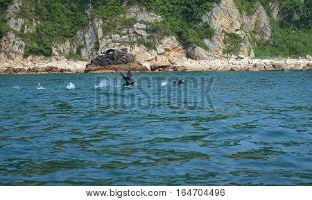 Japan sea west coast. Two cormorants run on water for take-off