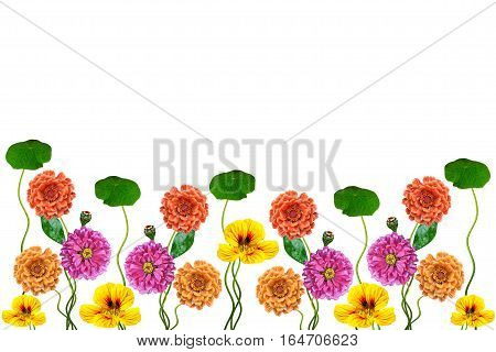Petunias and zinnias isolated on a white background with copy space. Colorful flowers border.