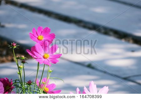 Pink cosmos flowers field in garden and nature background. Cosmos flowers and cement pathway background