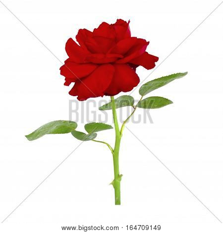 Red rose on white background. Single red rose flower