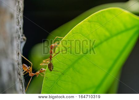 macro two red ant walking on green leaf