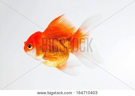 close up goldfish isolated on white background.