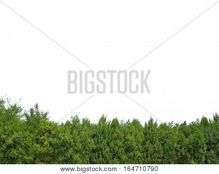 Green trees isolated on white back ground
