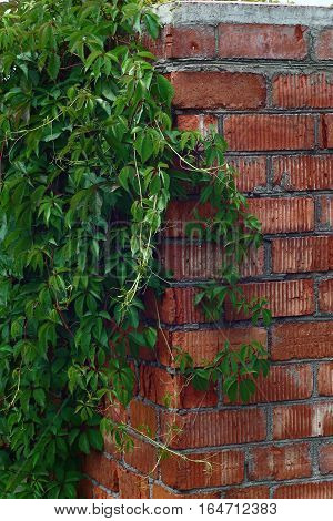 On a wall from a red brick the maiden grapes with bright green leaves are twisted.