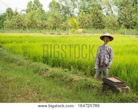 Scarecrow in the rice field, many tree background
