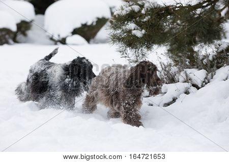 Two English Cocker Spaniel Dog Playing In Snow Winter