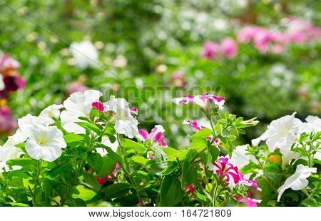 close up of petunia flowers in a garden