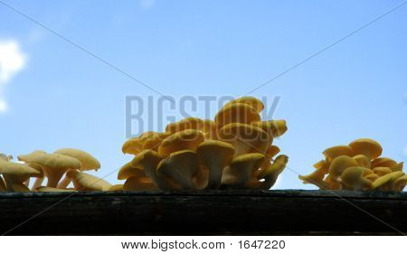 Three Clumps Of Yellow Oyster Mushrooms
