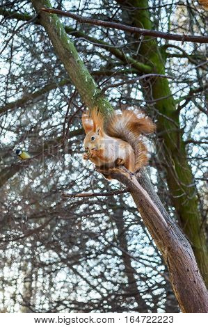 Squirrel ordinary orange sitting in a tree and eats. Near the small bird tit. Cold season. Park zone. Forest.