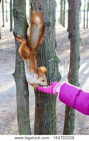 Tamed ordinary squirrel wool orange. Animal sitting on a tree trunk and eats with the hands of a child. Cold season. Park zone.