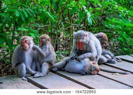 Family of macaque monkeys on a mountain path in the wild
