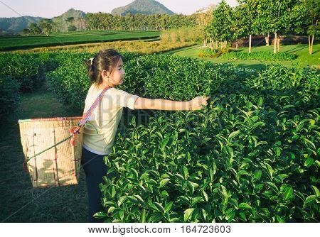 Kid pick up tea leaf at Green tea plantation field in shui fong at sunset Chiang rai Thailand