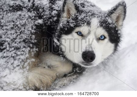 dog breed Siberian Husky thrives in the bitter cold in the snow