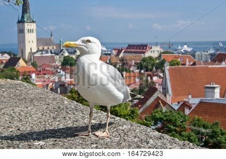 European herring gull ( Larus Argentatus) and old city of Tallinn Estonia on background