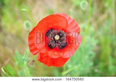Poppy flower on spring field. Red blooming poppy flower