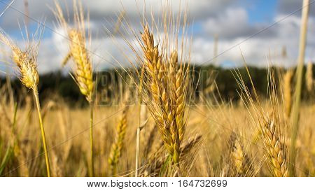 Wheat field on July before harvesting. Healthy lifestyle concept