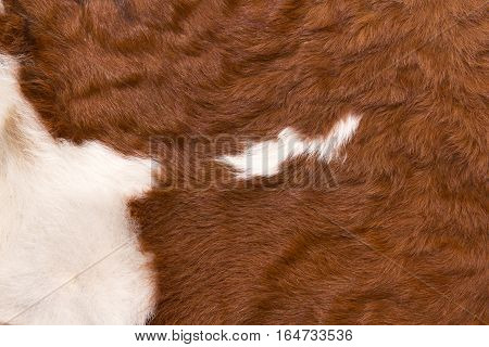 pattern of a cow with white on reddish brown hide