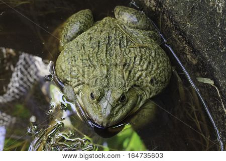 Frog after hibernation on meadow jump, black, cute, macro,