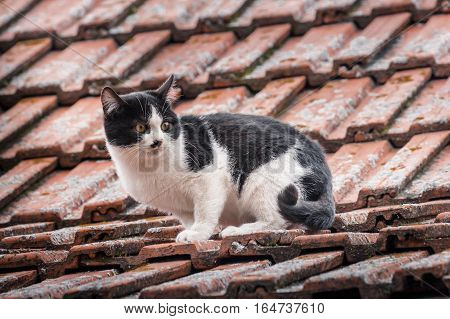 Cute Black And White Cat Walking Carefully On Rooftop Of House