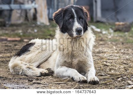 Shepherd dog of Bucovina sitting on the ground and looking attentively to the side.