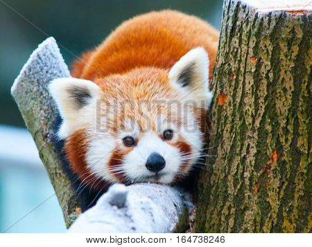 Red panda, aka lesser panda, Ailurus fulgens, lying on a branch.
