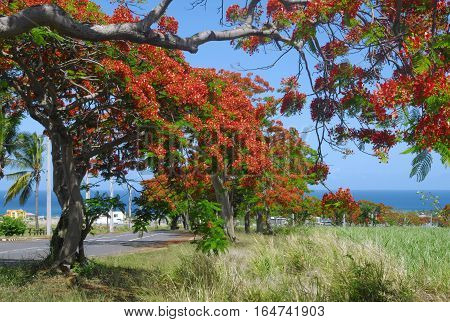 Beautiful rural landscape with Flamboyant tree in bloom in Mauritius
