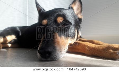 Cute Dog With Nose Closeup
