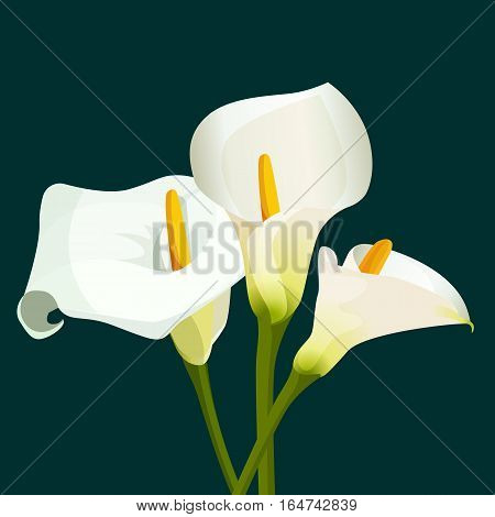 Bouquet of white calla lilies on dark green background. Floral illustration of spring flowers for design purposes. Fully editable vector. Blossom of natural botanical zantedeschia aethiopica plants