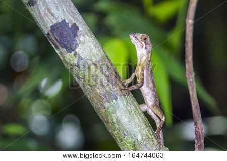 Brown-patched kangaroo lizard in Sinharaja nature reserve, Sri Lanka ; specie Otocryptis wiegmanni family of Agamidae