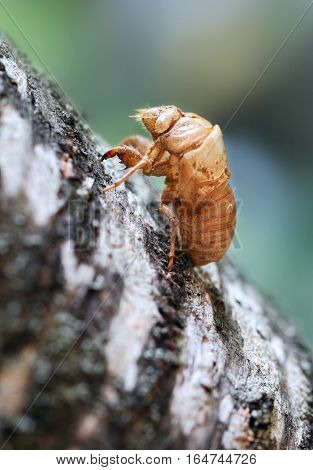 Close-up of husk of cicada on tree. Shell of cicada after molting