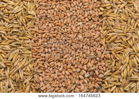 Picture Of Dry Barley Beans And Wheat On Jute Background. Agriculture, Healthy Food. Copy Space