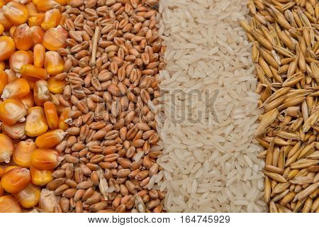 Lines of beans of dried corn oats rice and wheat lying on jute canvas background. Rustic image. Concept of healthy bio food. Cereals
