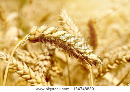Gold wheat field, summer season, close -up