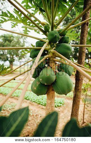 papaya tree. Asia, Vietnam. Tropical fruit tree