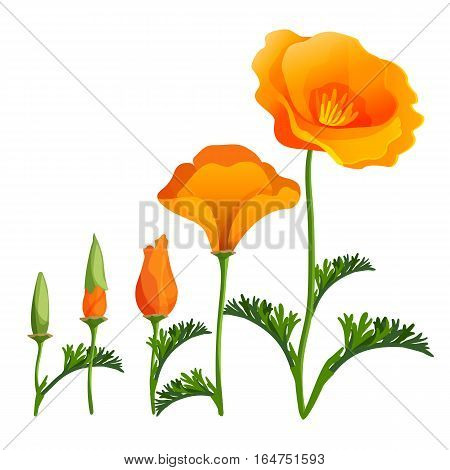 Poppy ascending order or stages of growth. Vector realistic illustration of poppy bud opening. Beautiful red flower in full blossom with green leaves. Narcotic plant botanical flora papaver