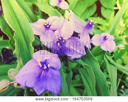 Tradescatia Virginiana, Spiderwort Flower. Sprintime Flowers. Tined Toned Coloration Image